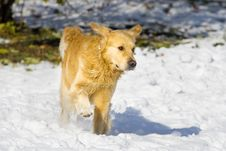 Free Golden Retriever Royalty Free Stock Photography - 7740427