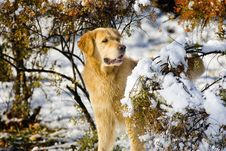 Free Golden Retriever Stock Photo - 7740450