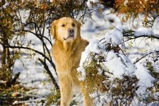 Free Golden Retriever Royalty Free Stock Images - 7740469