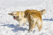 Free Golden Retriever Royalty Free Stock Images - 7740479