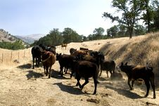 Farm Cattle On A Ranch Royalty Free Stock Images