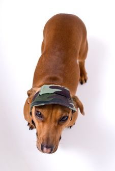 Dachshund In Peaked Cap Royalty Free Stock Photography