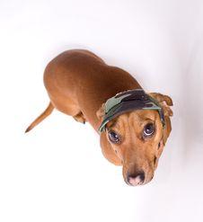 Free Dachshund In Peaked Cap Stock Image - 7742051