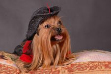 Free Dog In Black Hat Lying On The Pillow Royalty Free Stock Images - 7742709