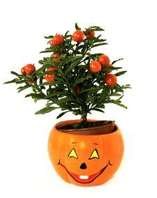 Free Plant In Fan Flower-spot Royalty Free Stock Image - 7742716