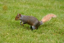 Red Squirrel About To Jump Royalty Free Stock Photography