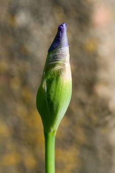 Free Unblown Iris Flower Royalty Free Stock Image - 7742996