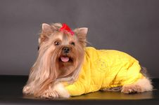 Free Lying Dog In Yellow Overall Stock Photo - 7743110