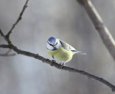 Free One Blue Tit On A Branch Stock Photos - 7743163