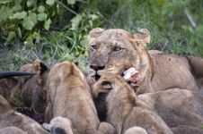 Free Lion Family Eating Their Prey Stock Photos - 7743343