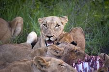 Free Lion Family Eating Their Prey Royalty Free Stock Image - 7743366