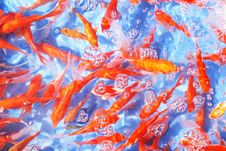 Free The Red Koi Carps In Aquarium Stock Photos - 7743573
