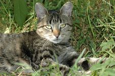Free Striped Cat Lying On The Grass Royalty Free Stock Images - 7743609
