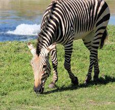 Free Zebra Stock Image - 7743861