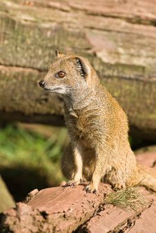 Free Yellow Mongoose On Alert. Royalty Free Stock Images - 7744509