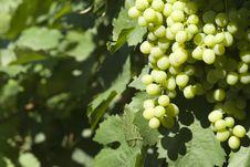 Free Grape Royalty Free Stock Photography - 7744677