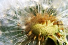 Free Dandelion Detail Stock Photos - 7745503