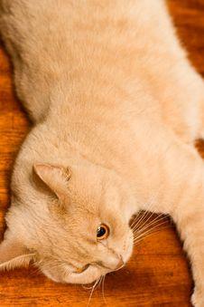 Free English Sleek-haired Cat Royalty Free Stock Photo - 7745835