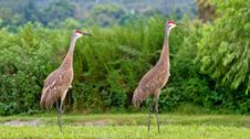 Free Pair Of Sandhill Cranes Royalty Free Stock Photo - 7746015