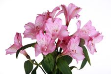 Free Pink Lily Flowers Stock Photos - 7746223