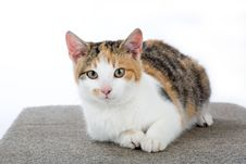 Spotted Cat, Isolated Royalty Free Stock Images