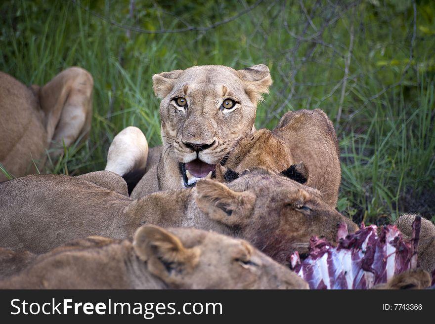 Lion family eating their prey