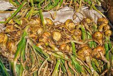 Free Fresh Onion Crop Stock Photo - 77446720