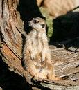 Free Meerkat (Suricata Suricatta) Stock Photo - 7751370