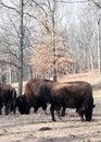 Free Buffalo Royalty Free Stock Photos - 7759148