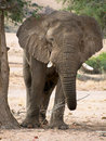 Free Desert-adapted Elephant  Front View Stock Image - 7759971