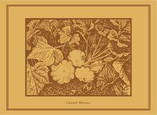 Free Custard Marrows Stock Images - 7750434