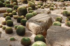 Free Cactus Royalty Free Stock Photos - 7750688