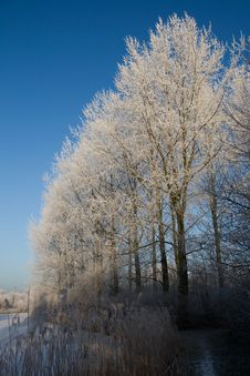 Free Snow Trees Royalty Free Stock Photography - 7750817