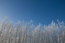 Tree Tops Covered In Snow Royalty Free Stock Photos
