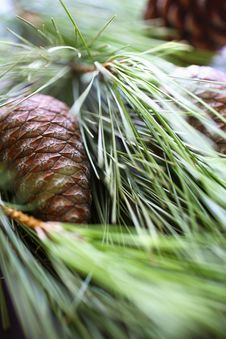 Free Pine Nuts With Pine Tree Branch Royalty Free Stock Photos - 7751028