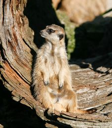 Free Meerkat (Suricata Suricatta) Stock Photo - 7751370