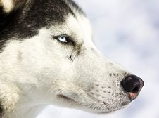 Free Husky Dog Royalty Free Stock Photo - 7751445