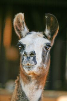 Free Llama Royalty Free Stock Photography - 7751467