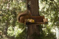 Free Squirrel Royalty Free Stock Image - 7751766