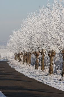 Free Willow Trees With Snow And Frost Royalty Free Stock Image - 7752756