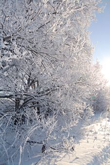Free Oak Branches Covered With Hoarfrost Royalty Free Stock Image - 7753396