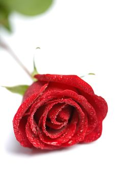 Free Beautiful Red Rose With Water Droplets Isolated Royalty Free Stock Image - 7753706