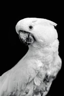 Magnificent Cockatoo Royalty Free Stock Photography