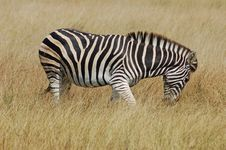 Free Zebra In Africa Stock Images - 7754214