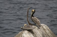 Free Three Pelicans On A Rock Stock Image - 7754371