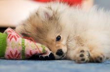 Pomeranian Spitz Puppy Royalty Free Stock Photography