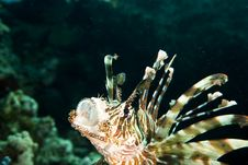 Free Lionfish Royalty Free Stock Image - 7756536