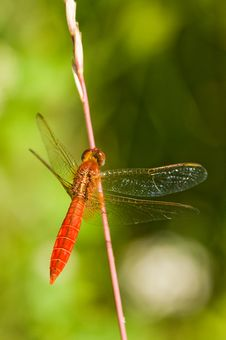 Free The Red Dragonfly. Royalty Free Stock Photos - 7756768