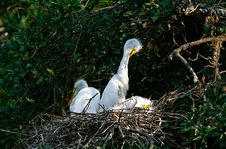 Free Great White Egret Chicks Royalty Free Stock Image - 7757406