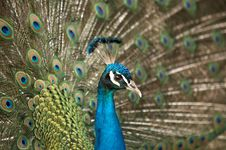Free Beautiful Color Peacock Stock Photo - 7758100